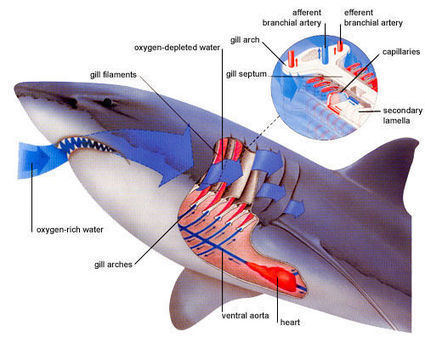 Body of a Shark   Sharks in the world   Scoop.it