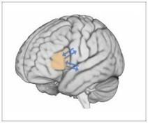 Broca's Area Is the Brain's Scriptwriter, Shaping Speech, Study Finds | Social Neuroscience Advances | Scoop.it