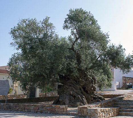 The Olive Tree of Vouves - EPOD - a service of USRA | Informatics Technology in Education | Scoop.it