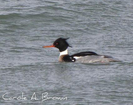 Ocean birds at risk from trash   Birds and Birding   Scoop.it