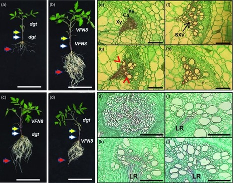 A tomato phloem-mobile protein regulates the shoot-to-root ratio by mediating the auxin response in distant organs - Spiegelman - 2015 - The Plant Journal - Wiley Online Library | plant molecular biology | Scoop.it