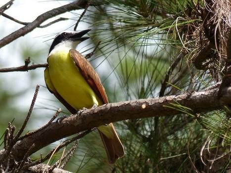 Oiseaux du Panama - Tyran - Tyrans - Oiseau jaune blanc noir et marron - Tyrannidés   Fauna Free Pics - Public Domain - Photos gratuites d'animaux   Scoop.it