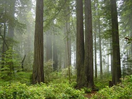 Redwood trees reveal history of West Coast rain, fog, ocean conditions | Agua | Scoop.it