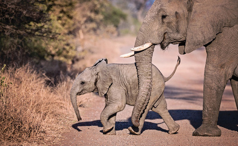 Proud Elephant Mother Surprises Former Rescuers With Her New Baby | Care2 Causes | Our Evolving Earth | Scoop.it