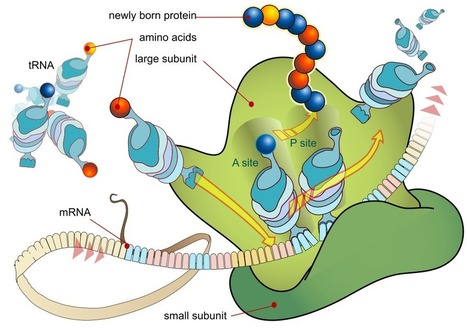 Plant RNAs Found in Mammals | The Scientist | The Science I Like | Scoop.it