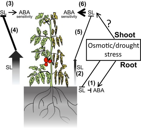 Low levels of strigolactones in roots as a component of the systemic signal of drought stress in tomato - Visentin - 2016 - New Phytologist - | Plant roots and rhizosphere | Scoop.it