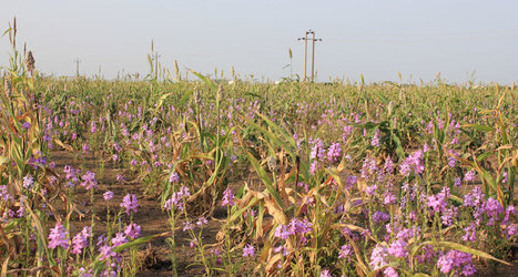 Plant 'vampires' lay in wait | Erba Volant - Applied Plant Science | Scoop.it