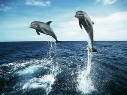 #Horrific and Bloody #DolphinMassacre in #Taiji  ~ Patience & passion R sorely needed* | Rescue our Ocean's & it's species from Man's Pollution! | Scoop.it