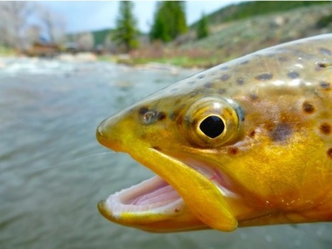 Taylor River Fishing Report : May 10, 2015 | Fly Fishing | Scoop.it