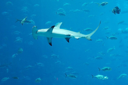 Great hammerhead shark may get more protection | Brad Sewell's Blog | Switchboard, from NRDC | All about water, the oceans, environmental issues | Scoop.it