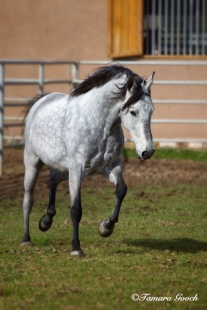 Tamara Gooch Photography: The Incredible Mangalarga Marchador Horse | Animals and Other Stories | Scoop.it