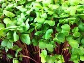 #microgreens #Seeds from @urbaform | Yellow Boat Social Entrepreneurism | Scoop.it