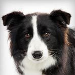 Border Collie : Dog Breed Selector : Animal Planet | Dogs | Scoop.it