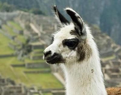 Llama (Lama Glama) - Animals - A-Z Animals - Animal Facts, Information, Pictures, Videos, Resources and Links   Llama Llama Misses Mama   Scoop.it