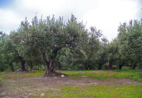 La bactérie «tueuse d'oliviers» est arrivée en France | EntomoNews | Scoop.it