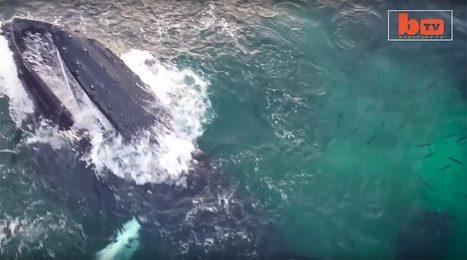 Un drone filme l'impressionnante partie de chasse des baleines à bosse (vidéo) - notre-planete.info   Sale temps pour la planète   Scoop.it