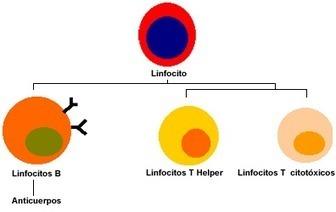 Tipos_de_linfocitos.gif (396x250 pixels) | Respuesta Inmune e Inmunodeficiencias | Scoop.it