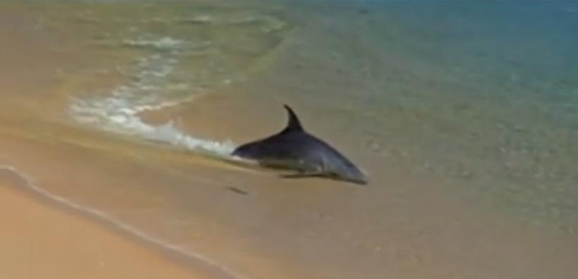VIDEO. Les dauphins sont des chasseurs hors-pair