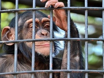 Lab testing on chimps may end as U.S. moves to declare them all 'endangered' | Earth Day Everyday Everywhere | Scoop.it