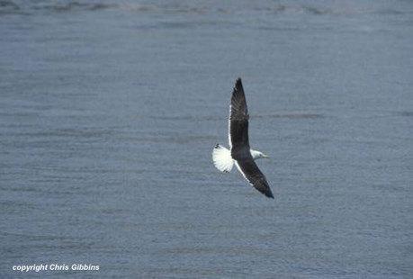 Baltic and Heuglin's Gulls - surfbirds.com   Bird ID   Scoop.it