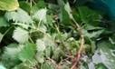 Brandnetelgier maken en gebruiken   Tuinpraat   Planten en eten   Scoop.it