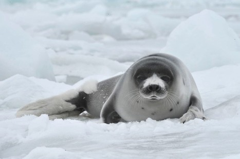 How The #U.S., #Russia And 32 Other Countries Are #Saving #Seals #WTO upheld Ban on products* | Rescue our Ocean's & it's species from Man's Pollution! | Scoop.it