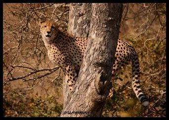 Kruger Tours - Cheetah join this weeks cat fest on the...   Facebook   Kruger & African Wildlife   Scoop.it
