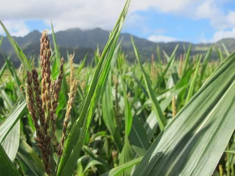 Hawaii is genetically engineered crop flash point - Washington Observer Reporter | Kauai The Garden Isle | Scoop.it