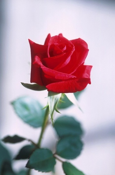 25 Cool Rose Pictures | Life | Scoop.it