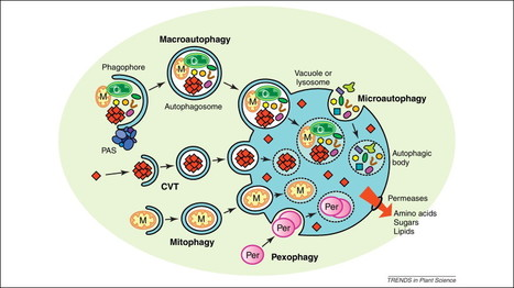 Trends in Plant Science - Autophagy: a multifaceted intracellular system for bulk and selective recycling | autophagy | Scoop.it