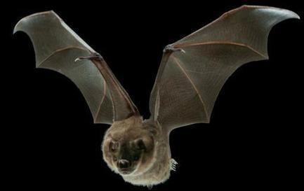 Tiny Muscles Help Bats Fine-tune Flight | Biomimicry | Scoop.it