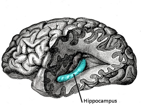 What Happens in the Hippocampus? | Social Neuroscience Advances | Scoop.it