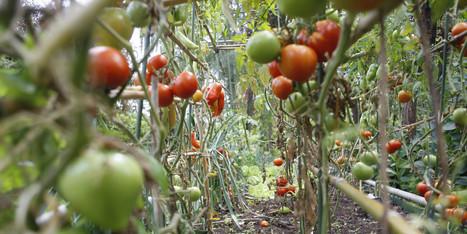 Quand les poissons font pousser des tomates | La richesse du partage pour une vie plus responsable | Scoop.it