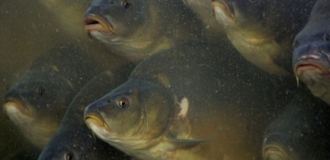 Pour éradiquer les carpes, l'Australie va répandre un virus dans ses fleuves | Nature to Share | Scoop.it