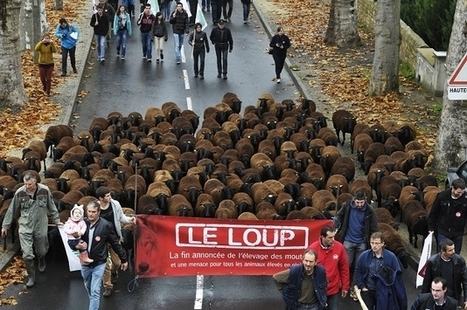 Un loup sous (trop) haute protection ?  / France Inter | Loup | Scoop.it