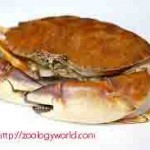 Biology of the Crab | Zoology World | Biology@BellaOnline | Scoop.it