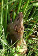 New Agriculturist: Developments - Trapping rats in Vietnam | pest control blacktown | Scoop.it