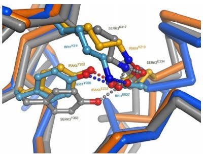 Crystal structures of the phosphorylated BRI1 kinase domain and implications for brassinosteroid signal initiation - Bojar - The Plant Journal - Wiley Online Library | learning plant | Scoop.it