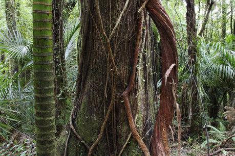 Vines strangle carbon storage in tropical forests | Rainforest EXPLORER:  News & Notes | Scoop.it