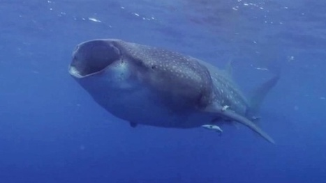 Vidéo Full HD | Requins baleine et mantas au ralenti : sublime ! | Plongeurs.TV | Scoop.it