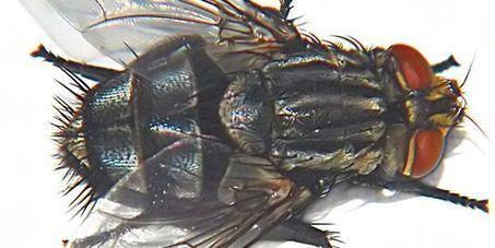 L'ombre de la peur plane sur la mouche | EntomoNews | Scoop.it