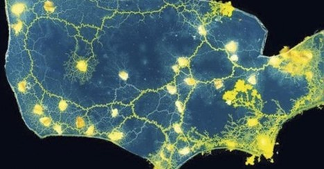 A Piece Of Mould Just Revolutionised How Modern Cities Should Be Designed | biomimicry | Scoop.it