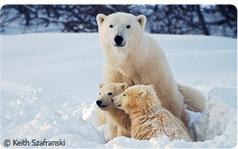 Help Make History for Polar Bears | Global warming | Scoop.it