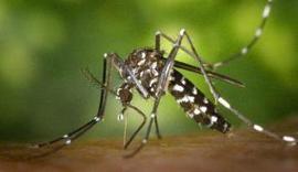 El mosquito tigre, nuestro enemigo este verano - La Opinión de Málaga | Genética humana | Scoop.it