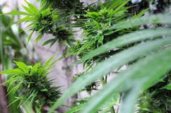 Marihuana: de las sombras a los laboratorios - 180 | thc barcelona | Scoop.it
