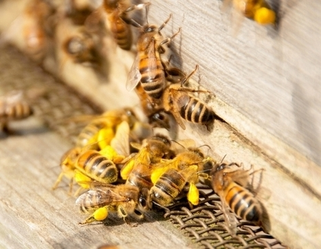 Scientists to Breed Genetically Modified Bees: Here's Why | Health from the Hive | Scoop.it