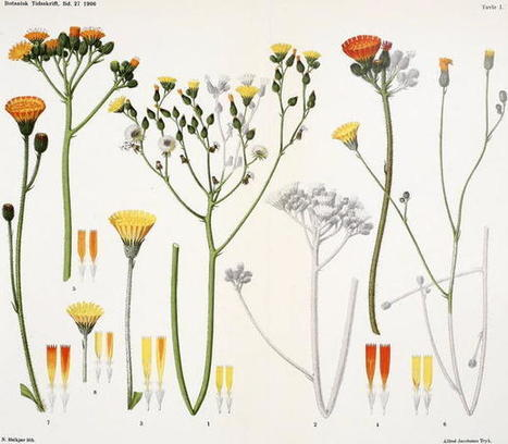 Seeds of doubt: Mendel's choice of Hieracium to study inheritance, a case of right plant, wrong trait | plant cell genetics | Scoop.it