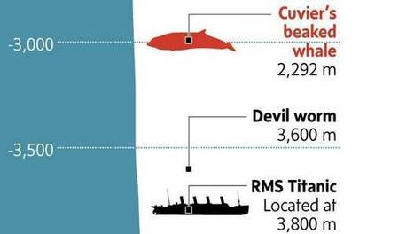 Graphic: This whale can dive deeper than any other mammal (including humans) | Geography for All! | Scoop.it