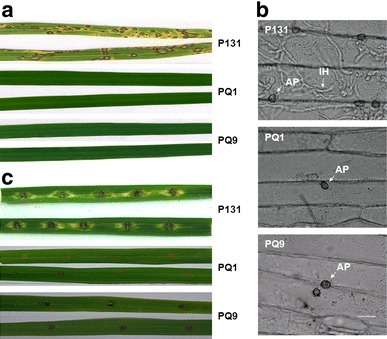 A serine/threonine-protein phosphatase PP2A catalytic subunit is essential for asexual development and plant infection in Magnaporthe oryzae - Online First - Springer   Rice Blast   Scoop.it