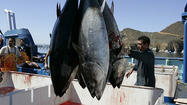 Bluefin tuna carried a little radiation from Japan to California, study says | Food issues | Scoop.it